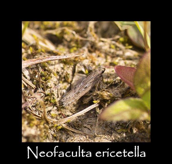 T Neofaculta ericetella 2