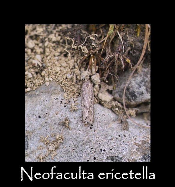T Neofaculta ericetella