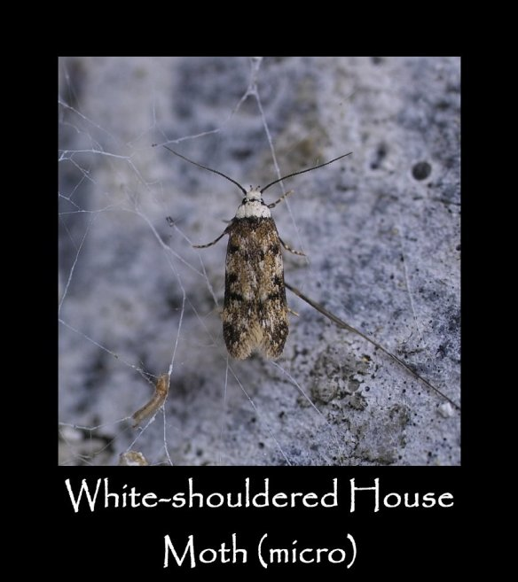 T White-shouldered House Moth (micro)