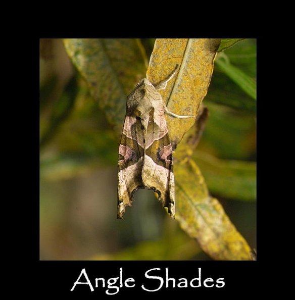 L Angle Shades