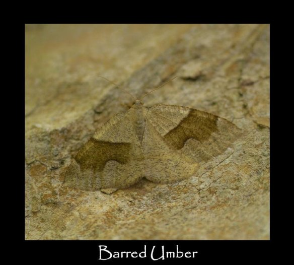 L Barred Umber