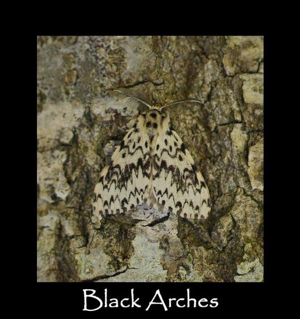 L Black Arches