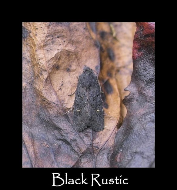 L Black Rustic