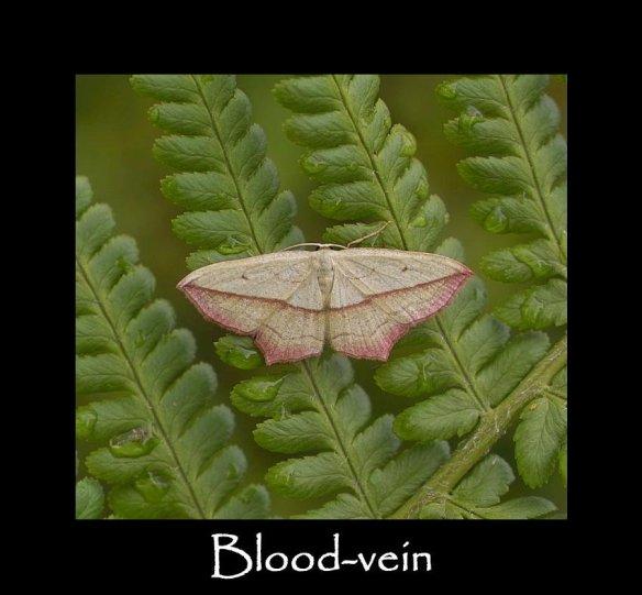 L Blood-vein (2)