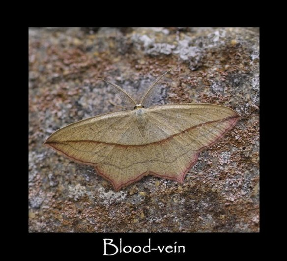 L Blood-vein