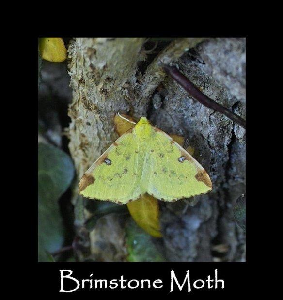 L Brimstone Moth (2)