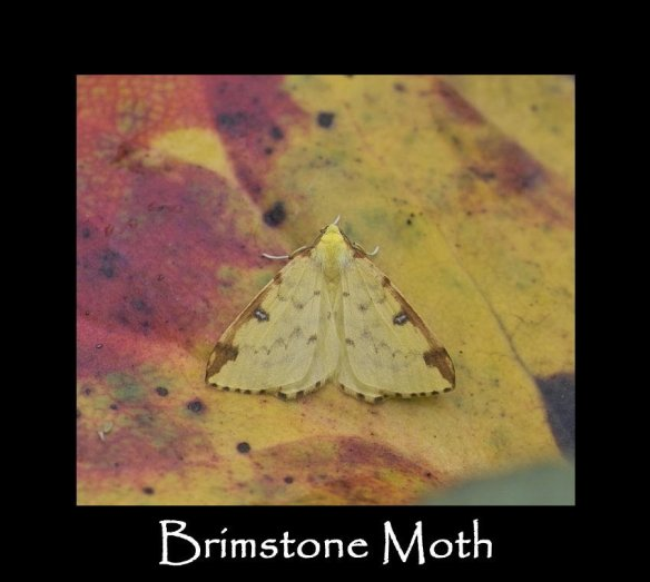 L Brimstone Moth