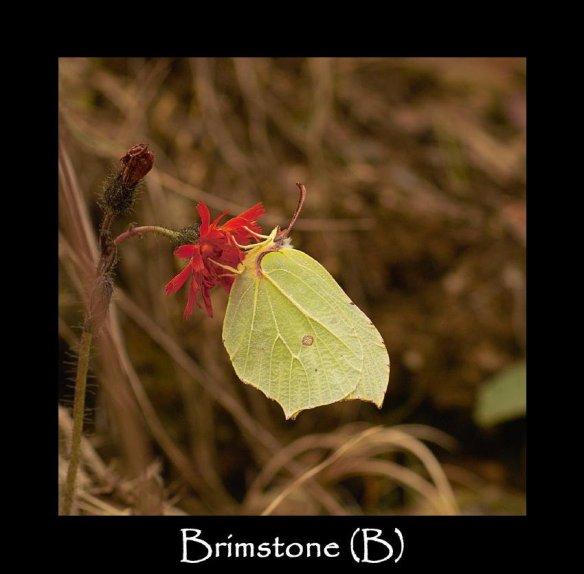 L Brimstone