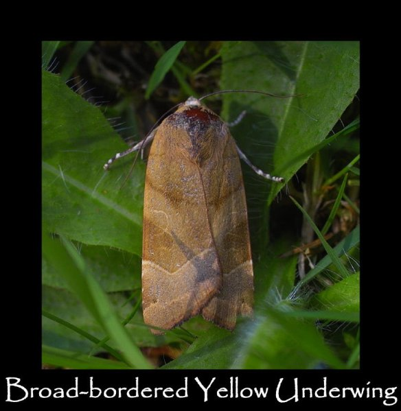 L Broad-bordered Yellow Underwing (2)
