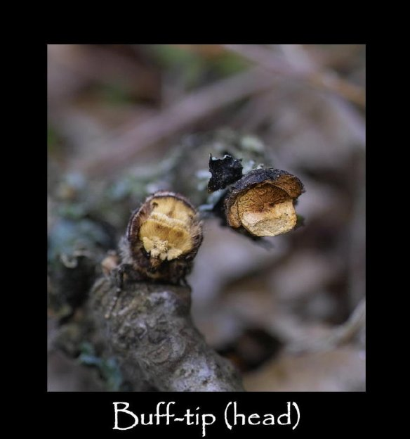 L Buff-tip (head)