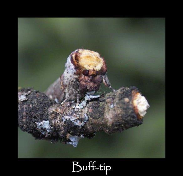 L Buff-tip