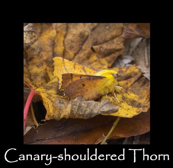 L Canary-shouldered Thorn 2 (2)