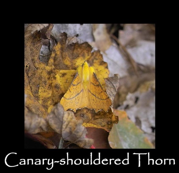 L Canary-shouldered Thorn (2)