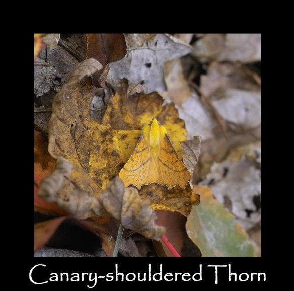 L Canary-shouldered Thorn 2