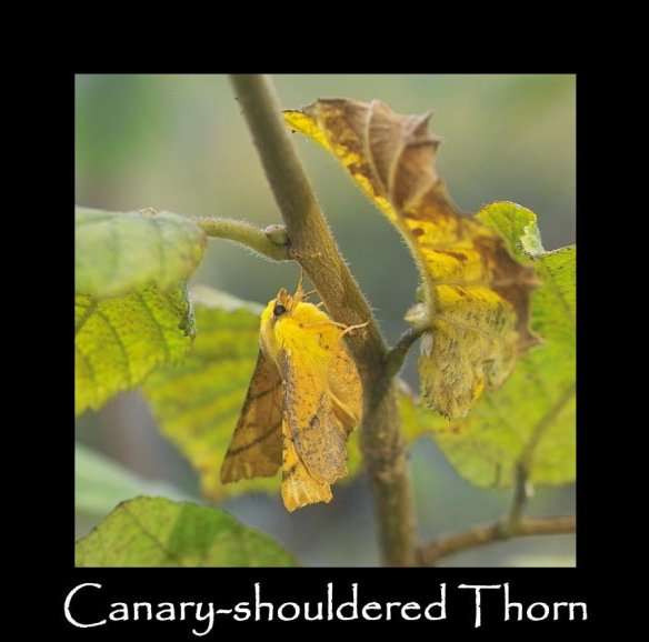 L Canary-shouldered Thorn