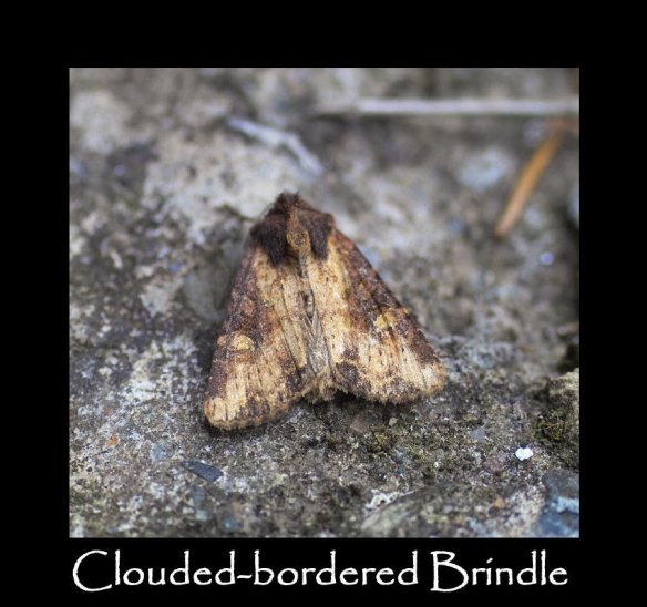L Clouded-bordered Brindle (2)