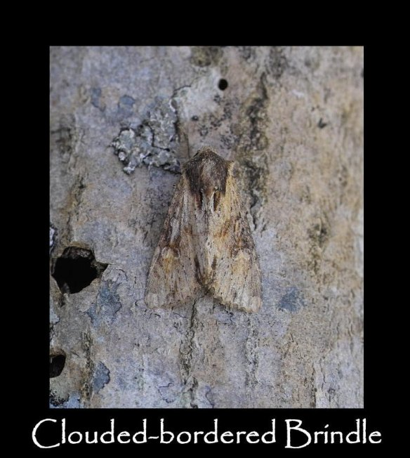 L Clouded-bordered Brindle