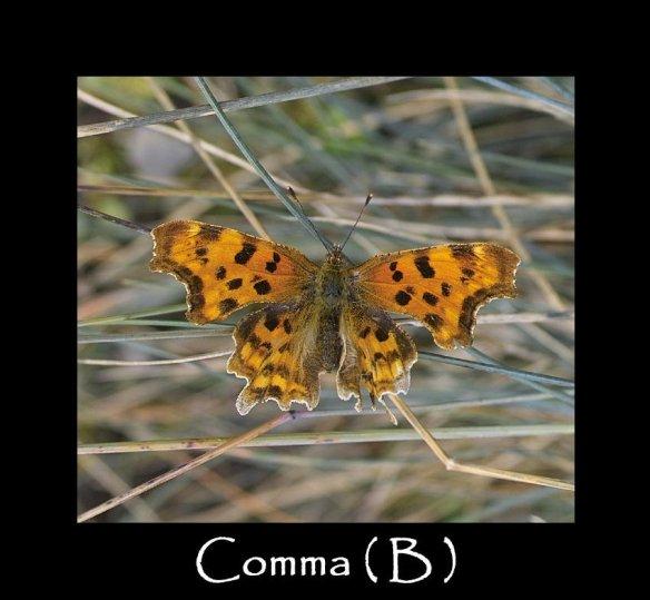 L Comma ( B ) 2