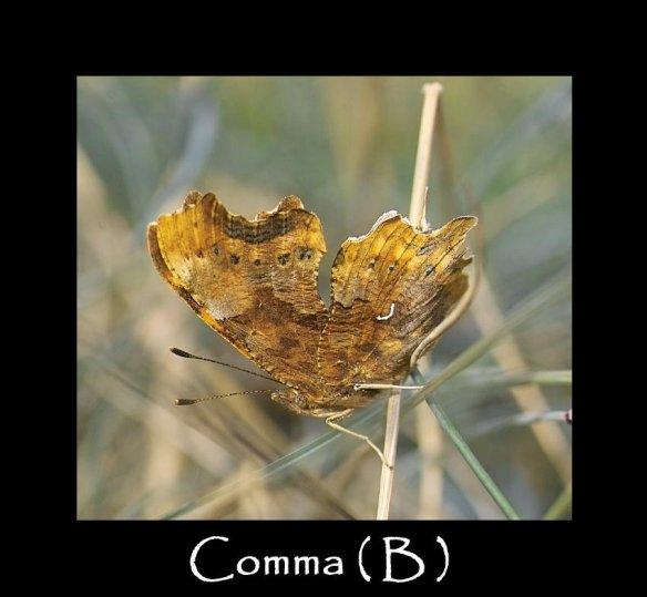 L Comma ( B )