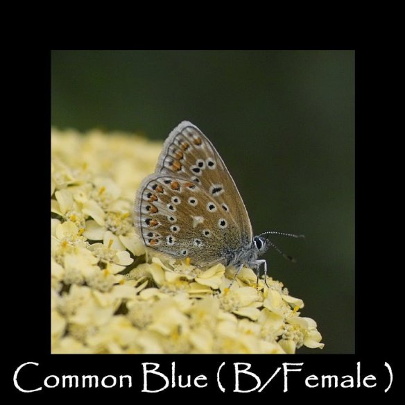 L Common Blue ( B Female ) 2 (2)