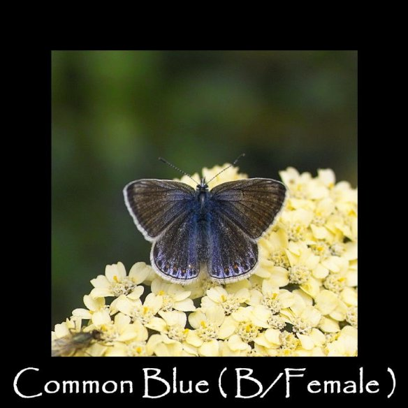 L Common Blue ( B Female ) (2)