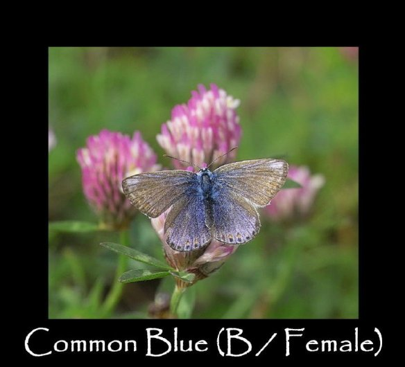 L Common Blue (B-Female)
