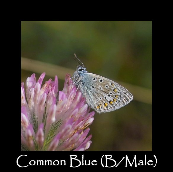L Common Blue ( B male ) (2)