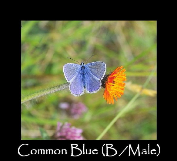 L Common Blue (B- Male)