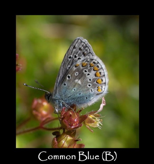 L Common Blue (B)