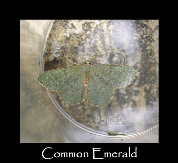 L Common Emerald