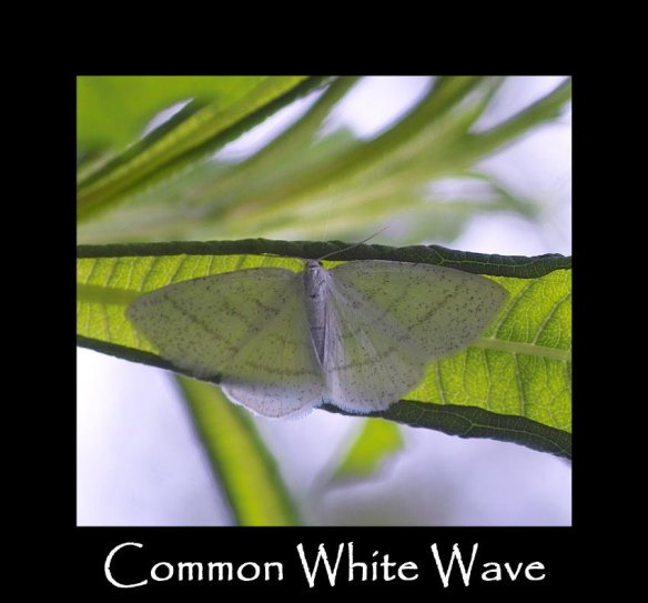 L Common White Wave (2)