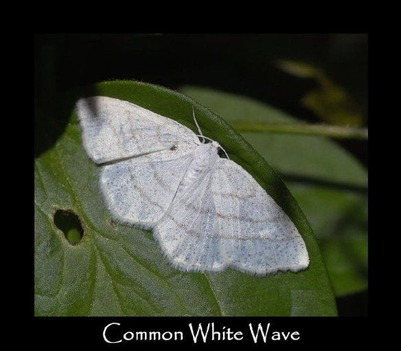 L Common White Wave