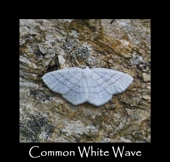 L Common White Wave