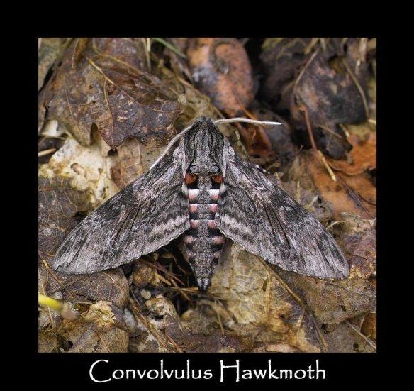 L Convolvulus Hawkmoth 2