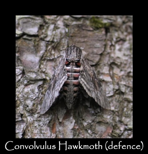 L Convolvulus Hawkmoth (defence)