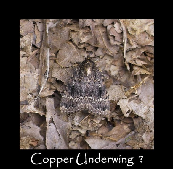 L Copper Underwing