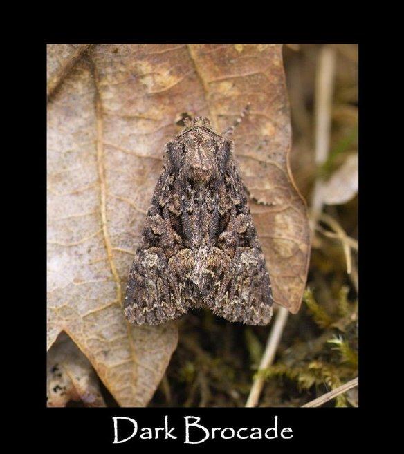 L Dark Brocade
