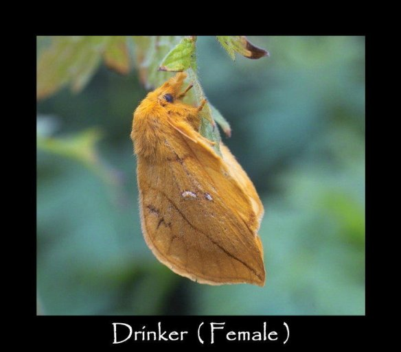 L Drinker ( Female )