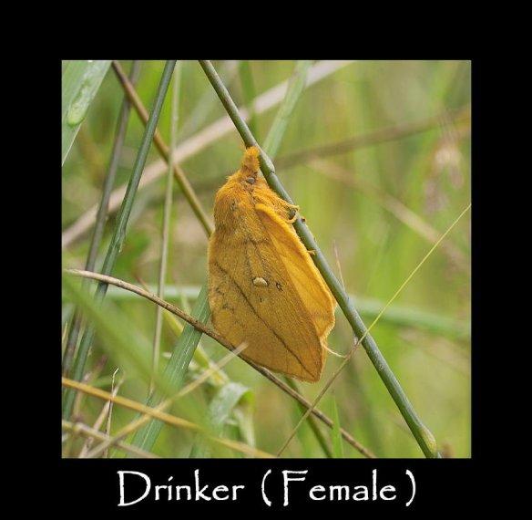 L Drinker ( Female )