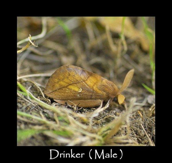 L Drinker ( Male )
