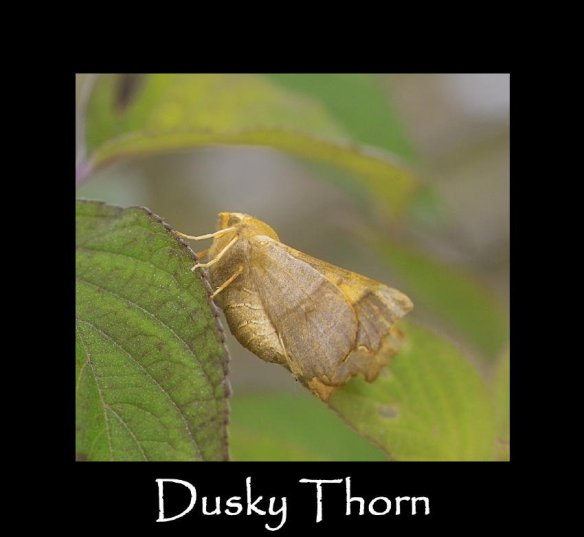 L Dusky Thorn 2