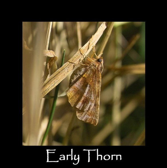 L Early Thorn (2)