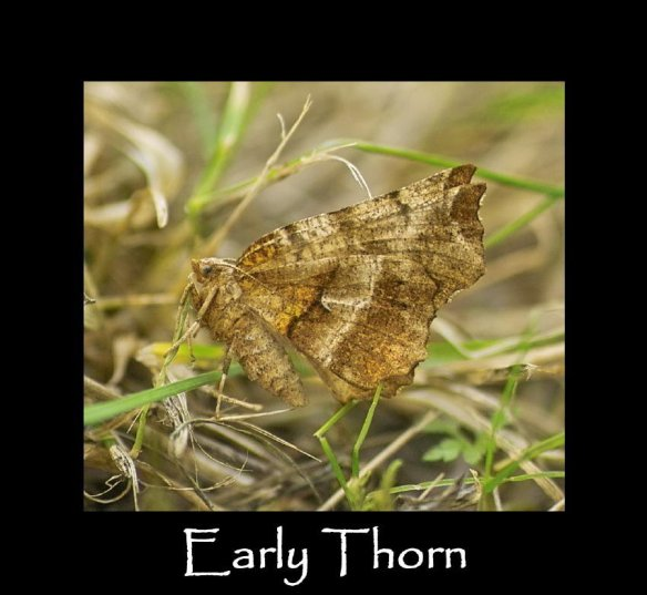 L Early Thorn