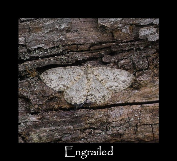 L Engrailed 2
