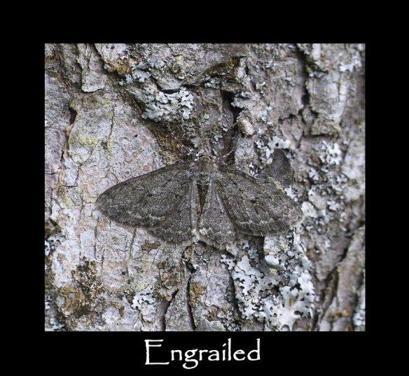L Engrailed 2
