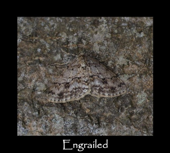 L Engrailed (2)