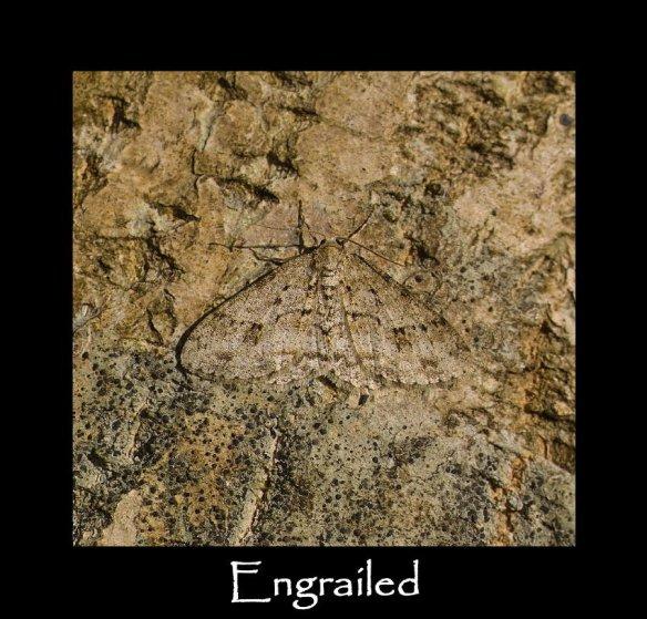 L Engrailed