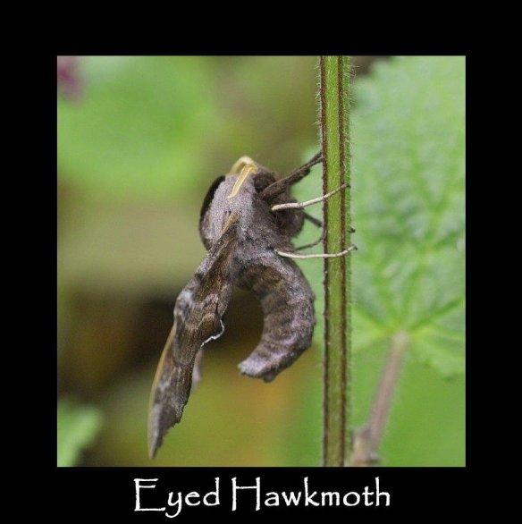 L Eyed Hawkmoth 2