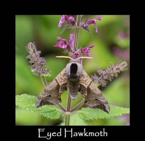 L Eyed Hawkmoth 3