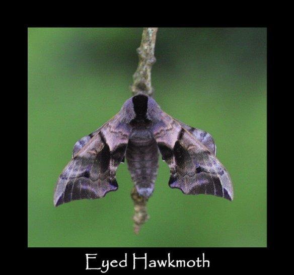 L Eyed Hawkmoth